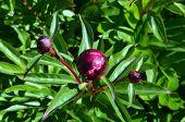 Pfingstrose rot blühen Sie Knospen und Blätter closeup