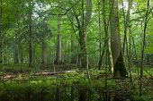 Summer Midday In Wet Deciduous Stand Of Bialowieza Forest