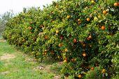 Orange Citrus Fruit Plantation On Peloponnese, Greece, New Harvest Of Sweet Juicy Oranges, Landscape poster