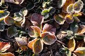 Strawberry Leaves Covered With Frost In The First Autumn Frosts, Abstract Natural Background. Green  poster