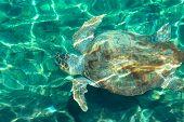 The Loggerhead Sea Turtle Also Known As Caretta Caretta Is Swimming Under The Mediterrenian Sea In G poster