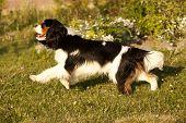 Cavalier King Charles Spaniel, Hund läuft durch eine Wiese