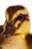 Cute domestic duckling isolated on white background poster