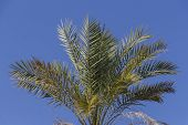 Palm Leaves Over Blue Sky, Palm Tree Leaf, Close Up Of Palm Tree Leaves poster