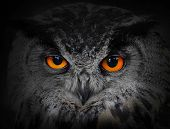 stock photo of owl eyes  - The evil eyes - JPG