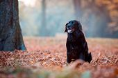 Black Dog Labrador In Autumn Sunset On Dry Leaves poster