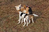 English Beagle Puppy, Akita Inu Puppy And Estonian Hound Puppy Are Playing In The Autumn Park. Pet A poster