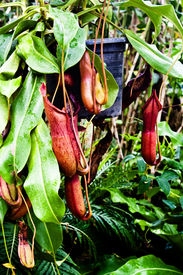 foto of nepenthes-mirabilis  - The Tropical pitcher plant   - JPG