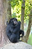 pic of chimp  - this is a chimpanzee eating banana in zoo - JPG