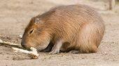 Capybara (hydrochoerus Hydrochaeris) Sitting In The Sand