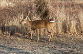 White Tail Deer 3736