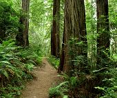 stock photo of redwood forest  - Hiking path through trees and ferns in the redwood forest - JPG
