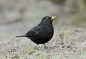 stock photo of brown thrush  - Male Blackbird - Turdus merula