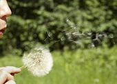 The Girl Blows On A Dandelion.
