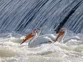 Three American White Pelicans Fishing