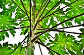 picture of pawpaw  - Papaya tree on white sky in bangkok - JPG