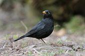 Male Blackbird
