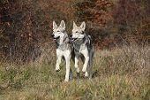 Saarloos Wolfhound Running