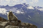 stock photo of marmot  - A marmot on a mountain in Glacier National Park - JPG