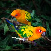 Two Sun Conures Parrots Are Sitting On A Tree Branch