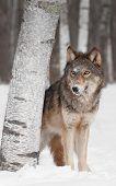 Grey Wolf (Canis lupus) Peers Around Birch Tree