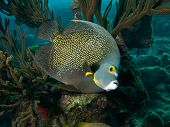 stock photo of angelfish  - French Angelfish on Calabas reef - JPG