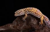 stock photo of albinos  - beautiful adult female Bell albino leopard gecko  - JPG