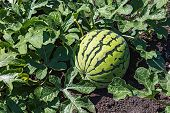 image of creeper  - Watermelons on the green melon field in the summer - JPG
