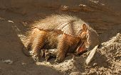 image of armadillo  - Sleeping armadillo  - JPG
