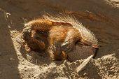 Sleeping Armadillo (chaetophractus Villosus)
