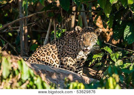 jaguar in the peruvian Amazonian