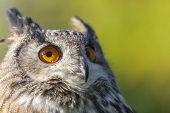 European or Eurasian Eagle Owl, Bubo Bubo, with big orange eyes