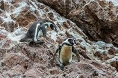 stock photo of ica  - two Humboldt penguins in the peruvian coast at Ica Peru - JPG