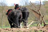 picture of shire horse  - horses pulling a plough like in the old times - JPG