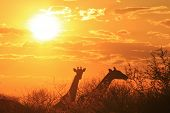 picture of unique landscape  - Giraffes feed with the sun setting behind them - JPG