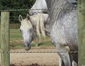 Gray horses on farm