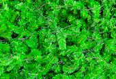 Background Of Green Prickly Branches Of Christmas Pine Tree