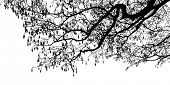 Black Alder tree branches silhouette, vector