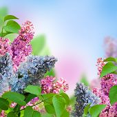 Branch of a multi-colored syringa, spring flowers