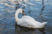 picture of polonia  - Beautiful swan and ducks on the lake in Mikolajki - JPG