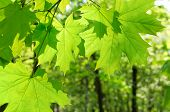 Green maple leaves on defocused green background