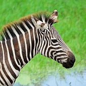picture of common  - Face of Common Zebra or Burchell - JPG