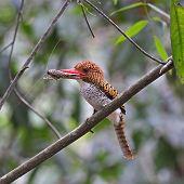 Female Banded Kingfisher