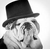 english bulldog wearing top hat