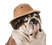 english bulldog wearing safari hat and wig