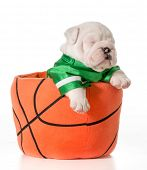 sports hound - bulldog puppy inside a basketball