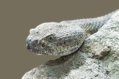 Mitchells Rattlesnake (crotalus Mitchellii)