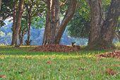 Barking Deer Or Muntiacus Muntjak