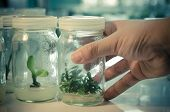 foto of vitro  - plant tissue culture in the laboratory - JPG