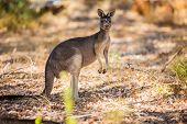 foto of kangaroo  - Wild kangaroos in the Australian forest. Shot in Western Australia.